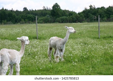 Two white alpacas are standing on a field. In front, an alpaca is whatching the other one. The other alpaca's eyes are closed. In the background, there is a field, forest and the sky.
