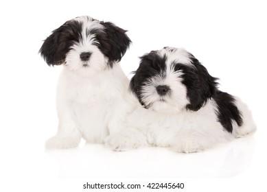 two white and black lhasa apso puppies on white