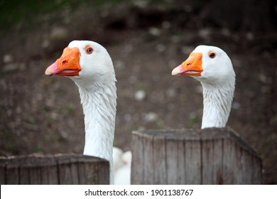 two white blue eyed geese
