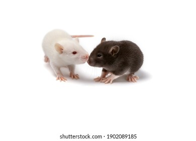 Two white and brown baby rats isolated on white. Template