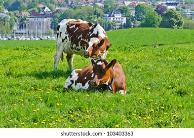 Two white and brown cows on a meadow with city on background