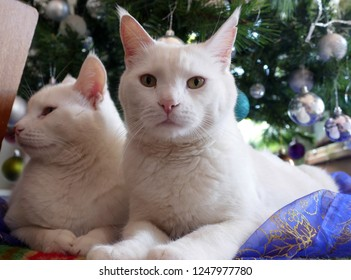 Two white cats under xmas tree