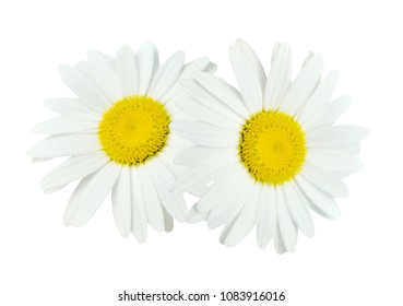 Two white Chamomile daisy isolate