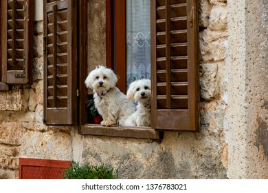 Two white dogs in the window.
