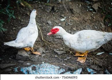 two white domestic muscovy ducks