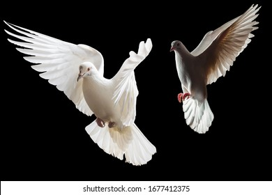 two white doves fly on a black background