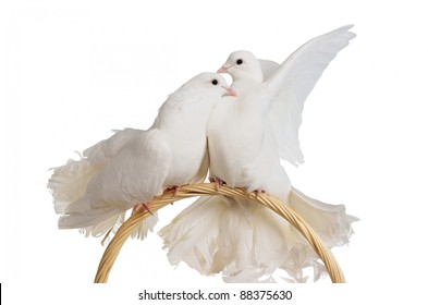 Two white doves kissing and hugging isolated