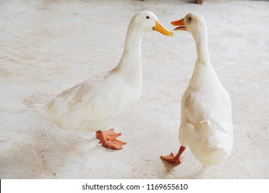Two white duck are walking together and talking to each other. Quack. Friendship of animal. White color hair or fur and yellow- orange beak. Polished concrete floor. Web foot poultry.