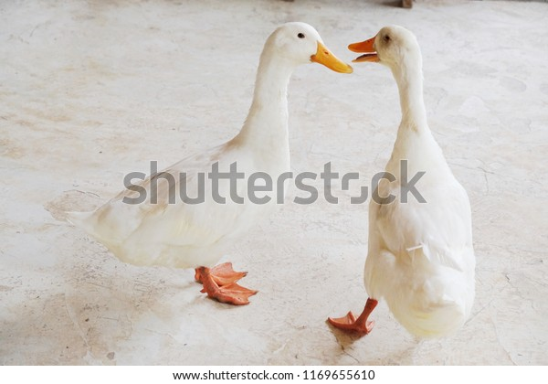 Two White Duck Walking Together Talking Stock Photo (Edit