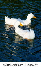 Two white ducks swimming at a lake.