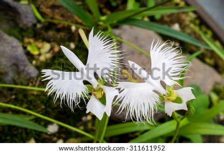 Two white egret flowers (Fringed orchid, Habenaria radiata, Sagiso), flying effect