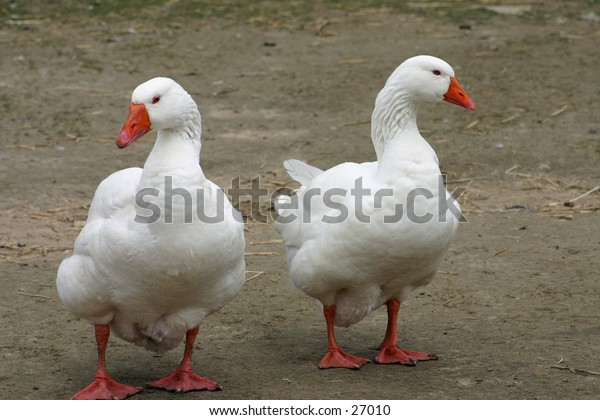 Two white famryard ducks