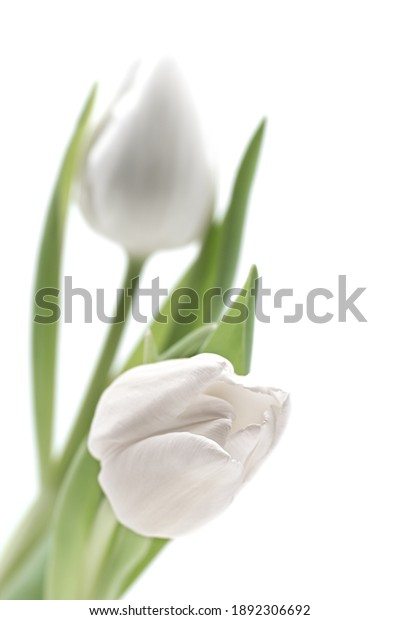 two white flowering tulips, photographed with shallow depth of field