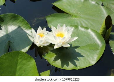 Two white flowers of European white water lily (Nymphaea alba)