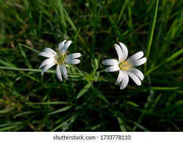 Two white flowers of Mouse-ear chickweed, also known as Common mouse-ear or Starweed