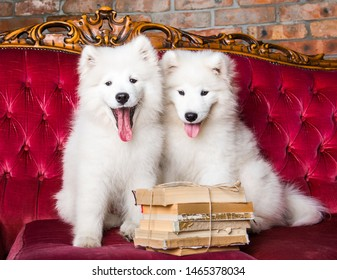 Two White fluffy Samoyed puppies dogs with books