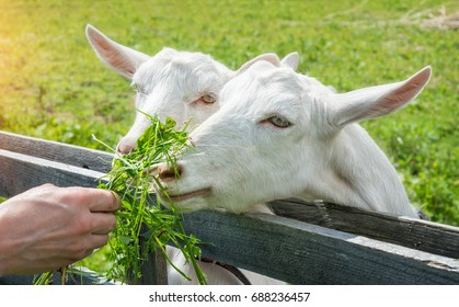 Two white goats eat grass from the hands of a man on a summer sunny day