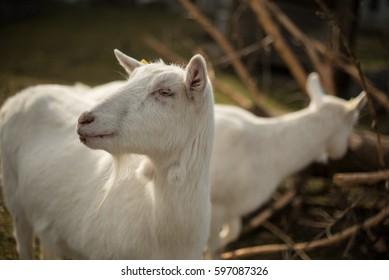Two white goats grazing