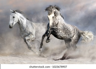 Two white horse with long mane run in sandy dust