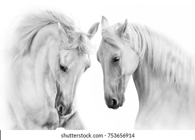 Two white horse portrait with long mane  close up in motion isolated on white background. High key portrait