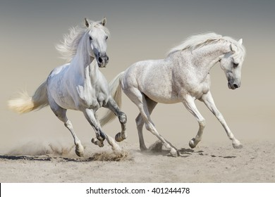 Two white horse run
