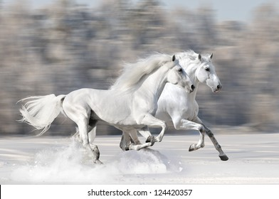 Two white horses in winter run gallop fast