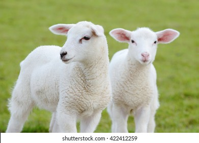 two white lamb  looking