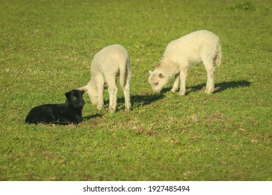 Two white lambs abs a black lamb grazing togehter in a meadow.