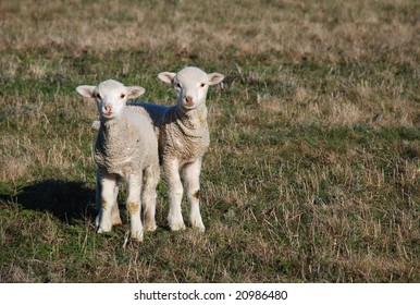 two white lambs on meadow