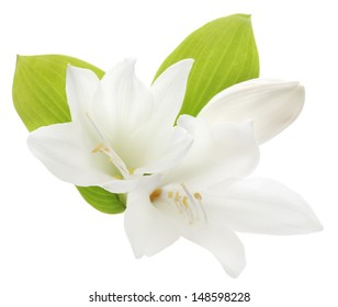 Two white lilies isolated on a white background