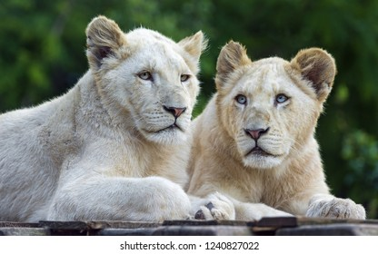 Two white lionesses