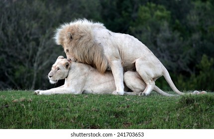 Two white lions mating in this amazing image.