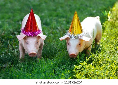 Two white little pigs are standing in the grass and look at the camera. Piglets on the birthday party and dressed in holiday caps.