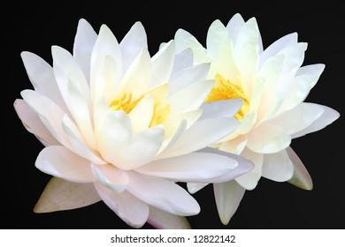 Two white lotus on black background
