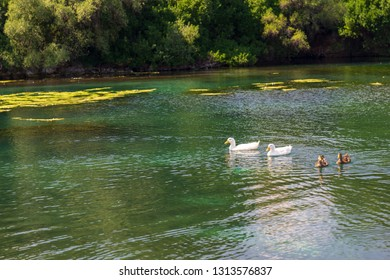 two white and two motley ducks swim on a pond or on the lake in sunny day