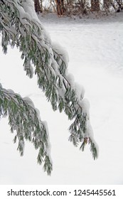 Two white pine tree branches heavily covered in snow with copy space in south west Michigan, USA.  Also known as Weymouth or soft pine.