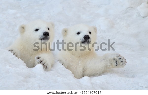 Two white polar bear cubs look out of a snow hole.
