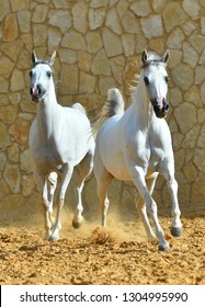 Two white purebred arabian mares running in gallop towards the camera in sand, Vertical, front view, in motion.