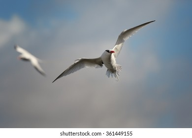 Two white Red-billed Tropicbird Phaethon aethereus in an elegant pose with a flowing tail and outspread wings against blue caribbean sky and clouds, during return to nesting place.