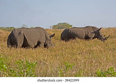 Two white rhino in South Africa