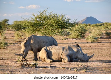 Two white rhinoceros one standing one lying on brown ground in front od green trees with mountain in background. Africa, Namibia