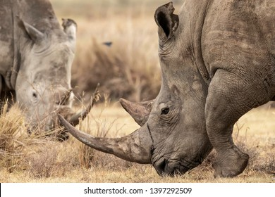 Two white Rhinocerus grazing the land in Lake Nakuru, Kenta Africa. Ceratotherium simum