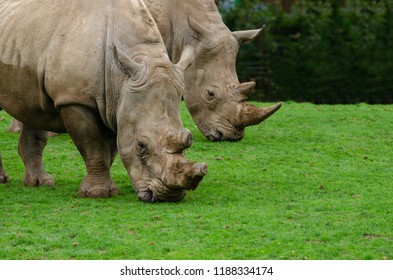 Two white rhinos grazing
