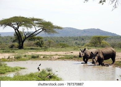 Two white rhinos in Hluhluwe - iMfolozi Park, South Africa