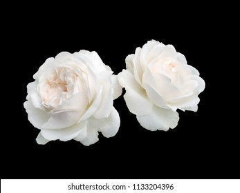 Two white roses isolated on a black background