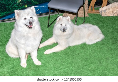 Two white Samoyed dogs. Samoyeds were originally used for hunting, herding reindeer, and hauling sledges in Siberia