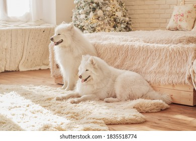 Two white Samoyed dogs are sitting on a fluffy carpet near the bed in a Christmas interior.
