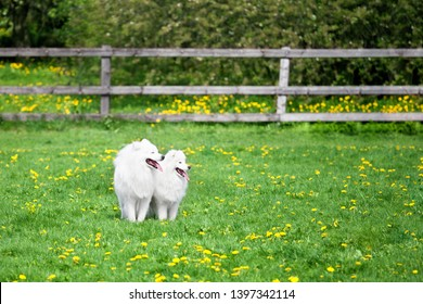 Two white Samoyeds dogs sit on green grass and yellow flowers field on sunny summer day, big and small fluffy laika pets walk together, two cute white spitz dogs on green nature background, copy space