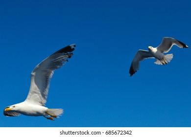 Two white seagulls flying over Saronic Gulf in Greece