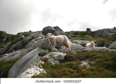 Two white sheep in the highlands in Norway. Kjerag mountain. Norway